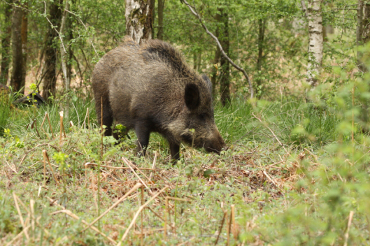 Wild Boar from the Forest of Dean