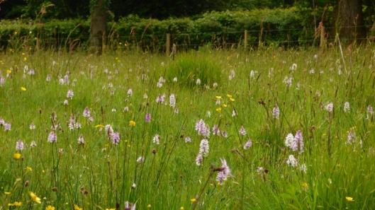Marsh Orchids1